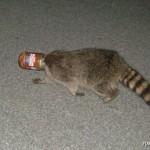 jarhead raccoon