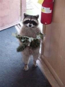 raccoon_kitten